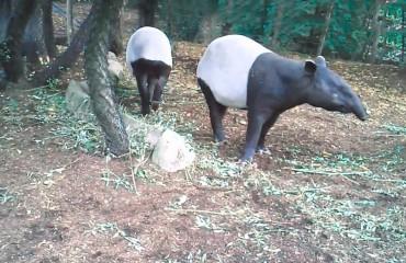 Тапир чепрачный