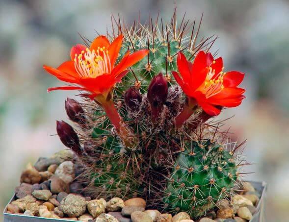 Фото цветущего кактуса