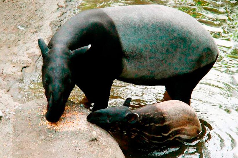 samka tapir cheprachnyy Тапир чепрачный