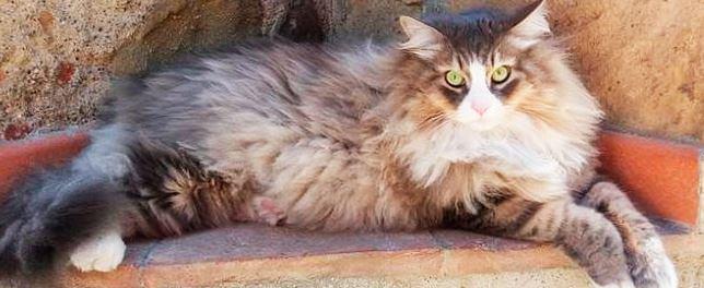 Картинка с сибирской кошкой