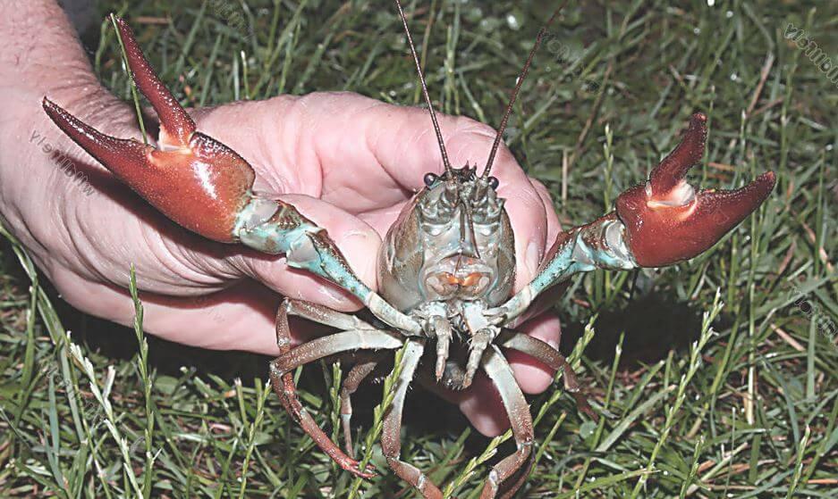 Pacifastacus leniusculus в руках