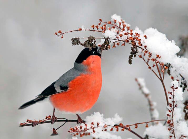 Кормящийся снегирь