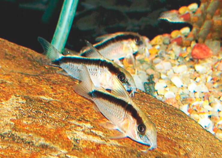 Картинка с Corydoras arcuatus