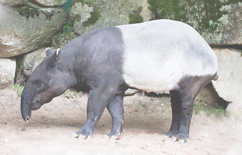 tapir cheprachnyy pronyuhivaet tropu Тапир чепрачный