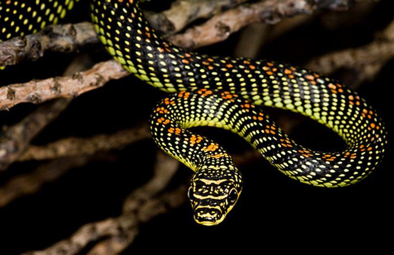 Обыкновенная украшенная змея фото