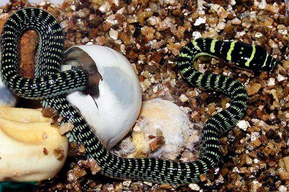 Вылупление из яиц Обыкновенной украшенной змеяи