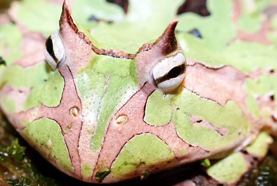 амазонская рогатка фото