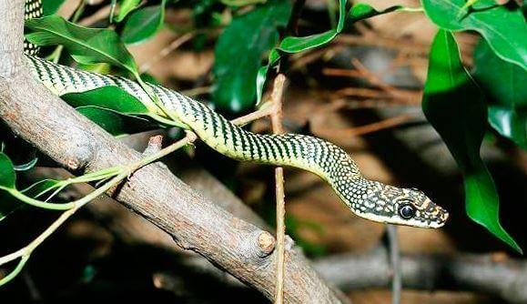 Картинка Обыкновенной украшенной змеи