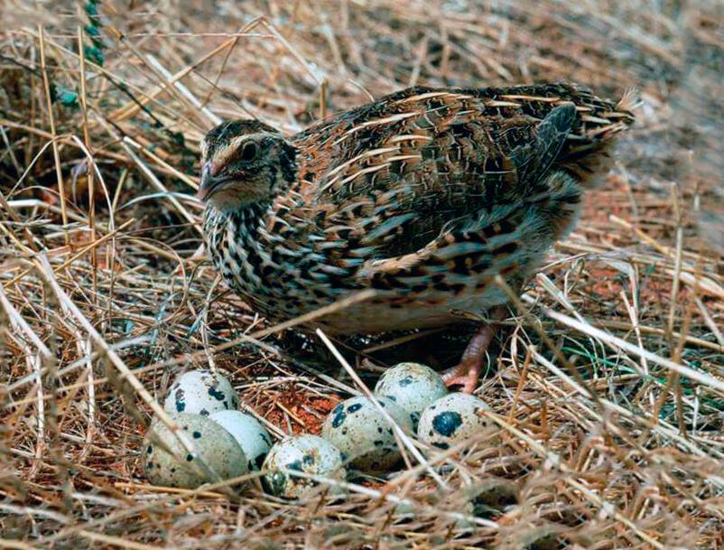Японский перепел возле гнезда