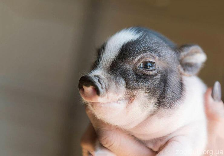 вьетнамская вислобрюхия свинья картинка