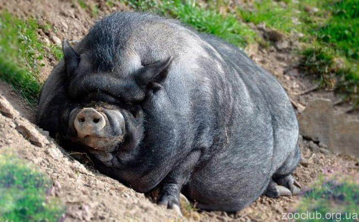 Фото вьетнамской вислобрюхой свиньи