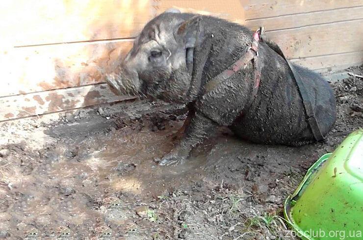 Вьетнамская свинья фото