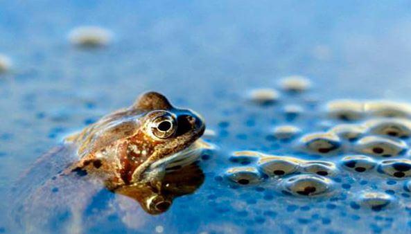 lyagushka udivitelnaya v vode 1 Лягушка удивительная