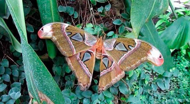 Красивые крылья сатурнии атлас