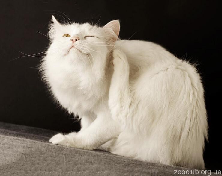 Блохи и клещи у кошек фото