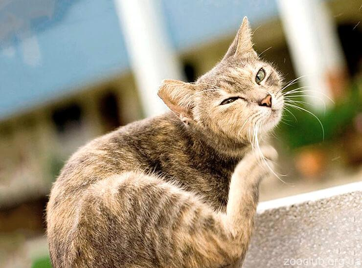 Блохи и клещи у кошек картинка