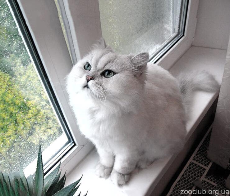 Персидская кошка фото