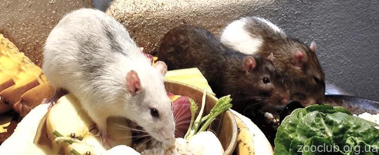 Картинка с декоративной крысой
