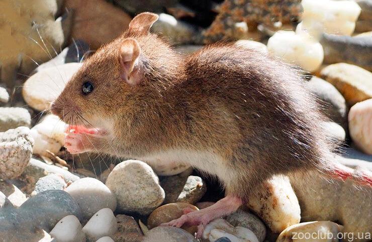 Декоративные крысы фото