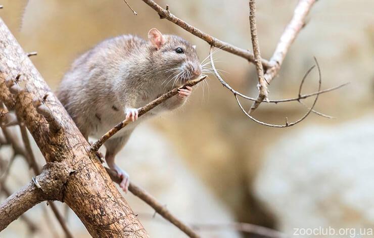 Фото с крысой декоративной