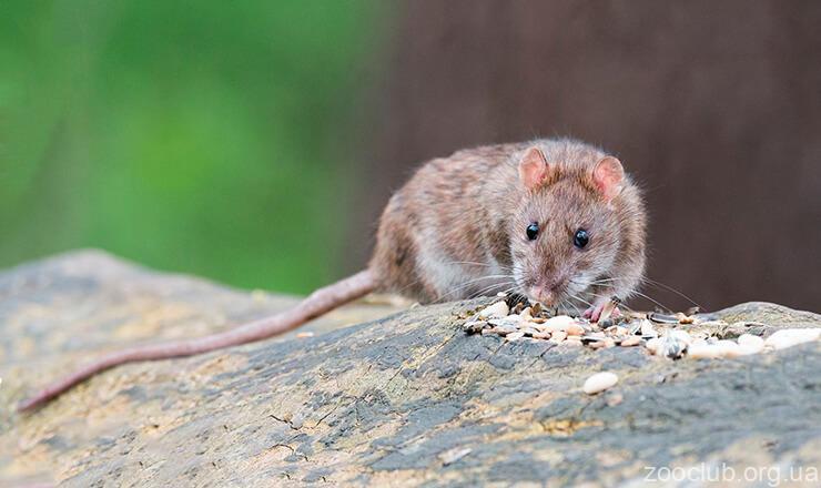 Крыса декоративная фото