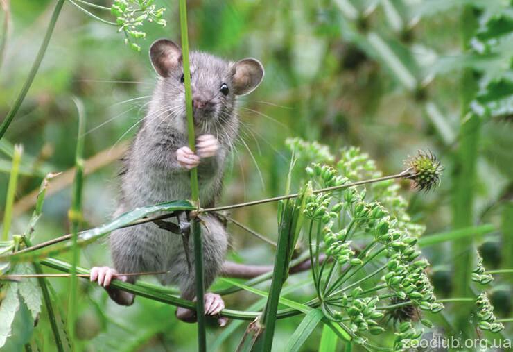 Фото декоративных крыс