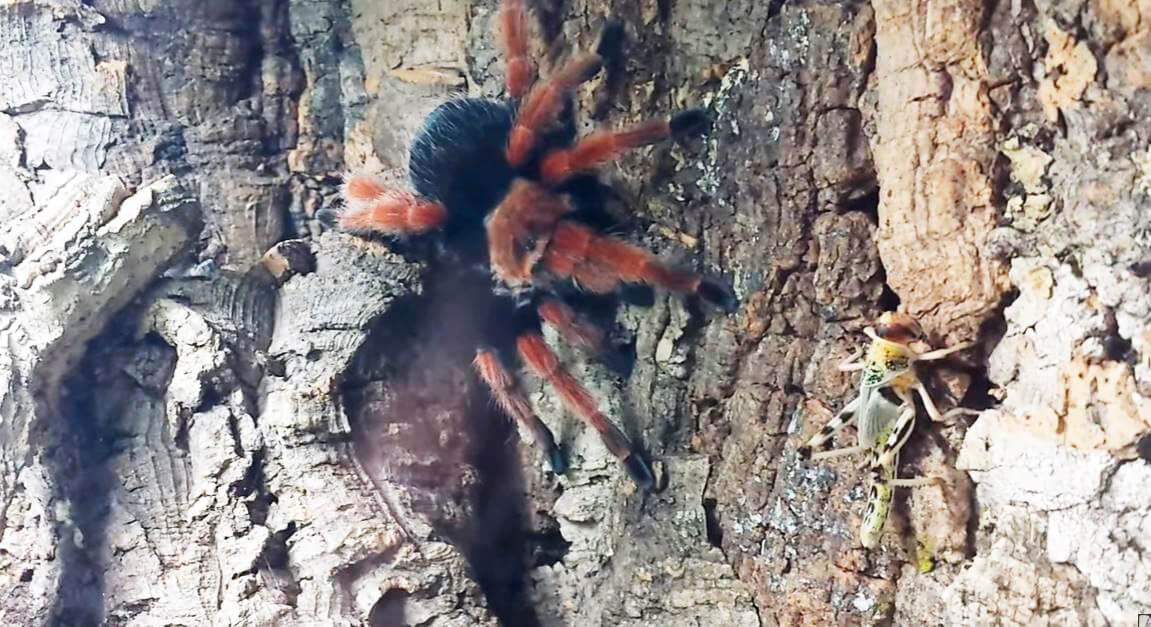 Охота Brachypelma smithii за несекомым