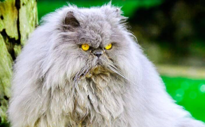 serya persidskaya koshka Персидская кошка