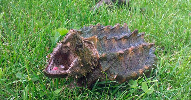 Грифовая черепаха на траве