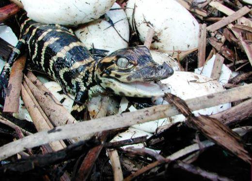 Кладка аллигатора миссисипского