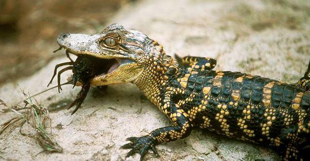 Молодой Аллигатор миссисипский