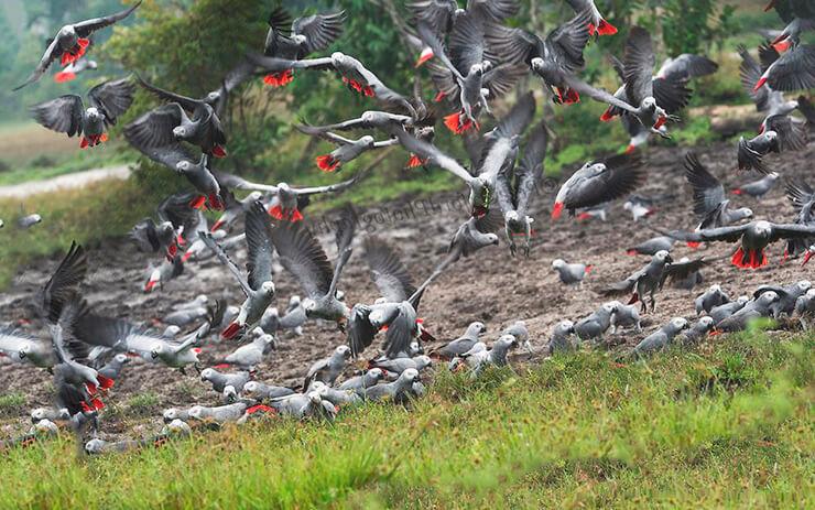 Стая серых попугаев