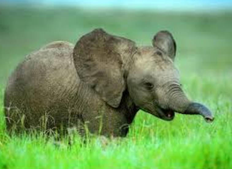 1111 Слон африканский