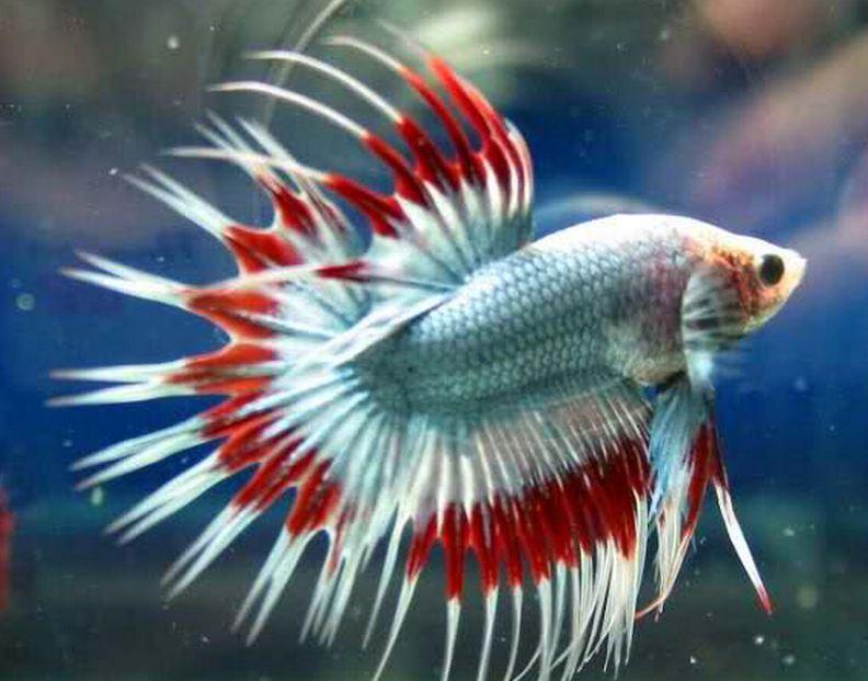 22 Бойцовая рыбка