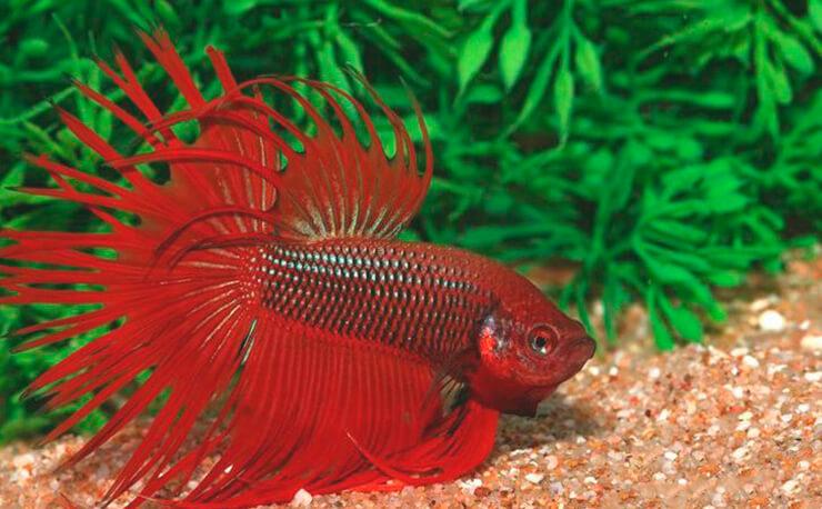 Красная бойцовая рыбка