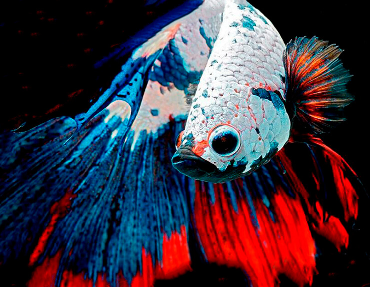 Бойцовая рыбка фото