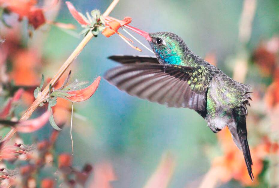 Колибри ширококлювый цинантус фото
