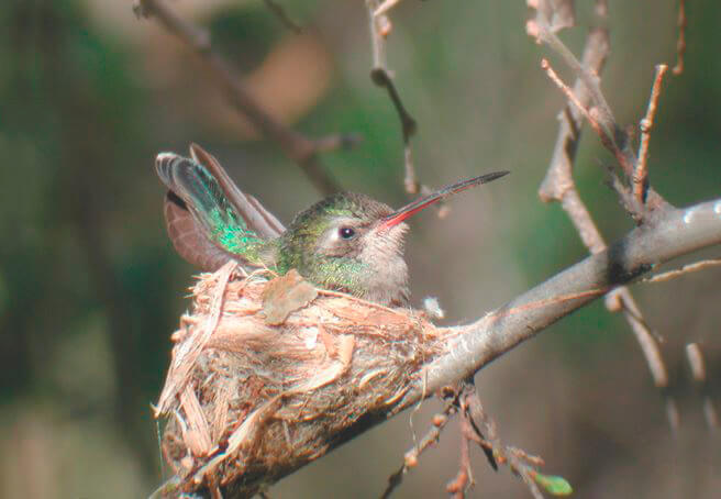 Гнездо колибри ширококлювого цинантуса