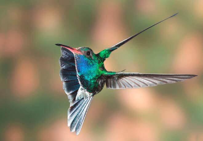 Поллёт колибри ширококлювого цинантуса