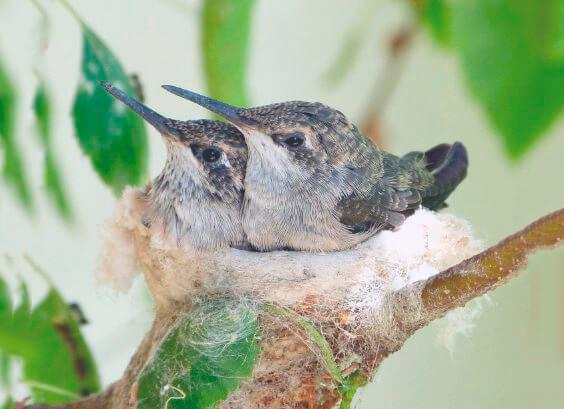 Птенчики колибри ширококлювого цинантуса