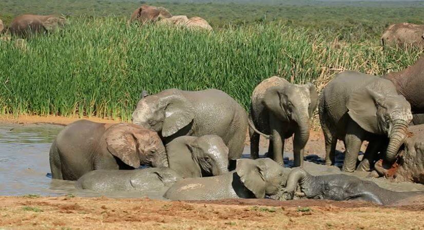 Водопой слона африканского