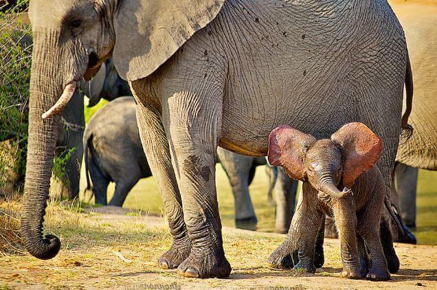 Семейство слона африканского