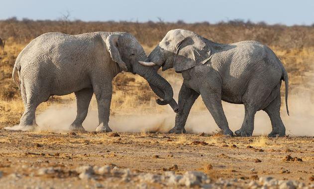 Битва слонов африканских