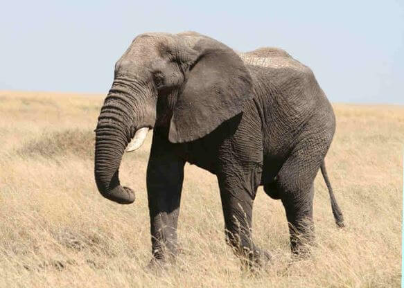 Слон африканский фото