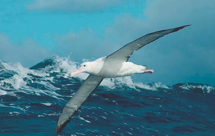 Альбатрос странствующий фото