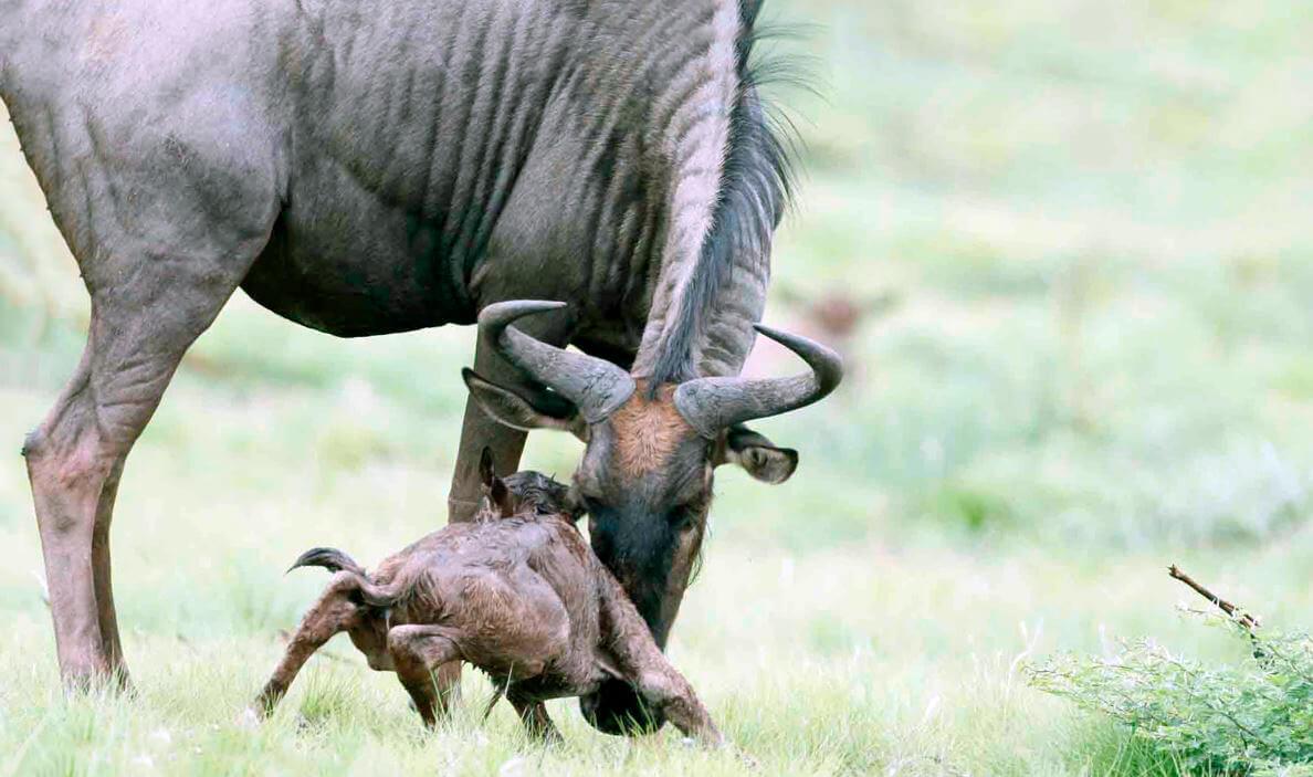 Появление на свет антилопы гну
