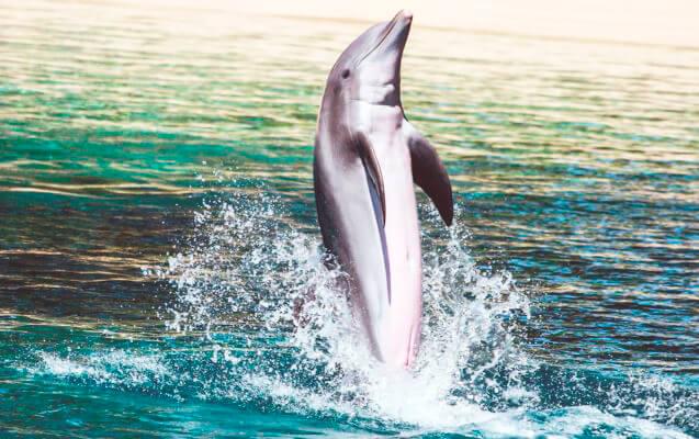 Картинка с дельфином афалина
