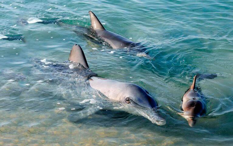 Дельфины афалины на мелководье