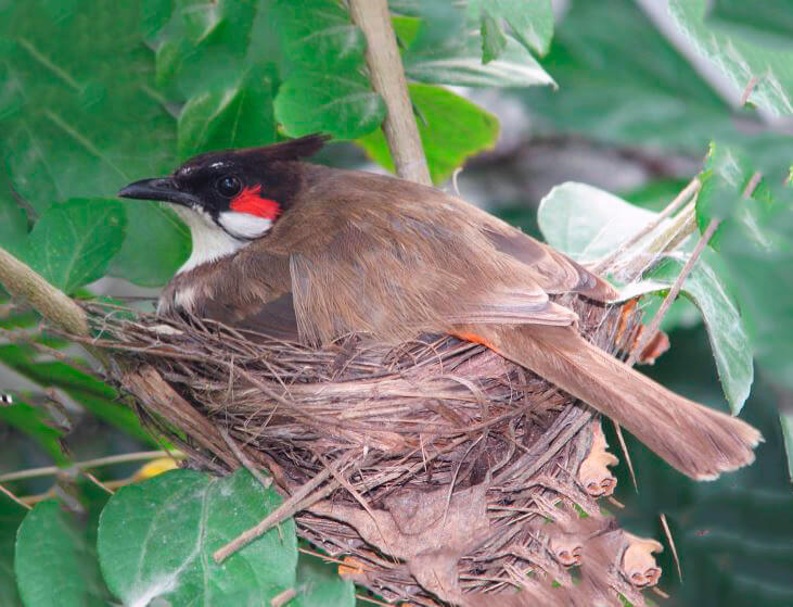 Гнездо бюльбюлья краснощекого