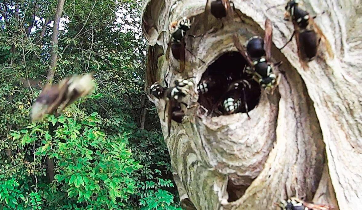 Vespa crabro в гнезде